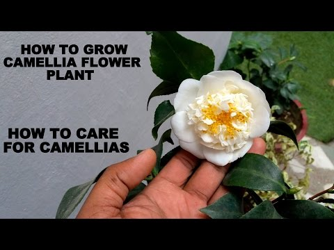 How to Grow Camellia Flower Plant (Care and Tips)