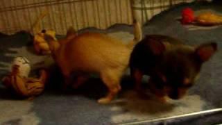 Soov.ee Kuulutus Chihuahua