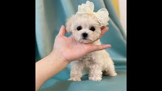 Toypoodle sale, korea puppies (토이푸들 분양/강아지해외분양,강아지해외입양) #shorts