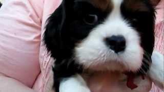Diva + Lastats 6 wk Cavalier puppies