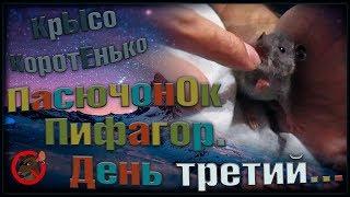 (Р) ПасючонОк Пифагор. Кушаем сами, на радость маме. Тень третий! (Wild Rats)