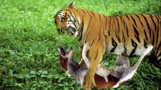 TIGER VS. PIT BULL!!!