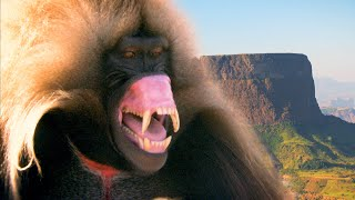 These Primates are the Watchmen of Ethiopia's Mountains