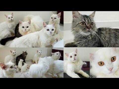 Doll Face Persian Cats & Persian Kittens - Persian Cattery