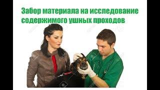 Забор материала на исследование содержимого ушных проходов у животных