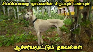 சிப்பிப்பாறை நாய்களின் சிறப்பும் பண்பும்!   Facts of Chippiparai Dog breed