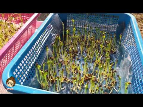 ปลูกผักบุ้งในตะกร้าแบบละเอียดตัดต่อใหม่เพิ่มสียงดังขึ้นจบในคลิป Hydopronics