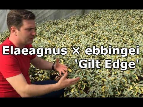 Elaeagnus × ebbingei 'Gilt Edge' - Sárga-tarka levelű ezüstfa