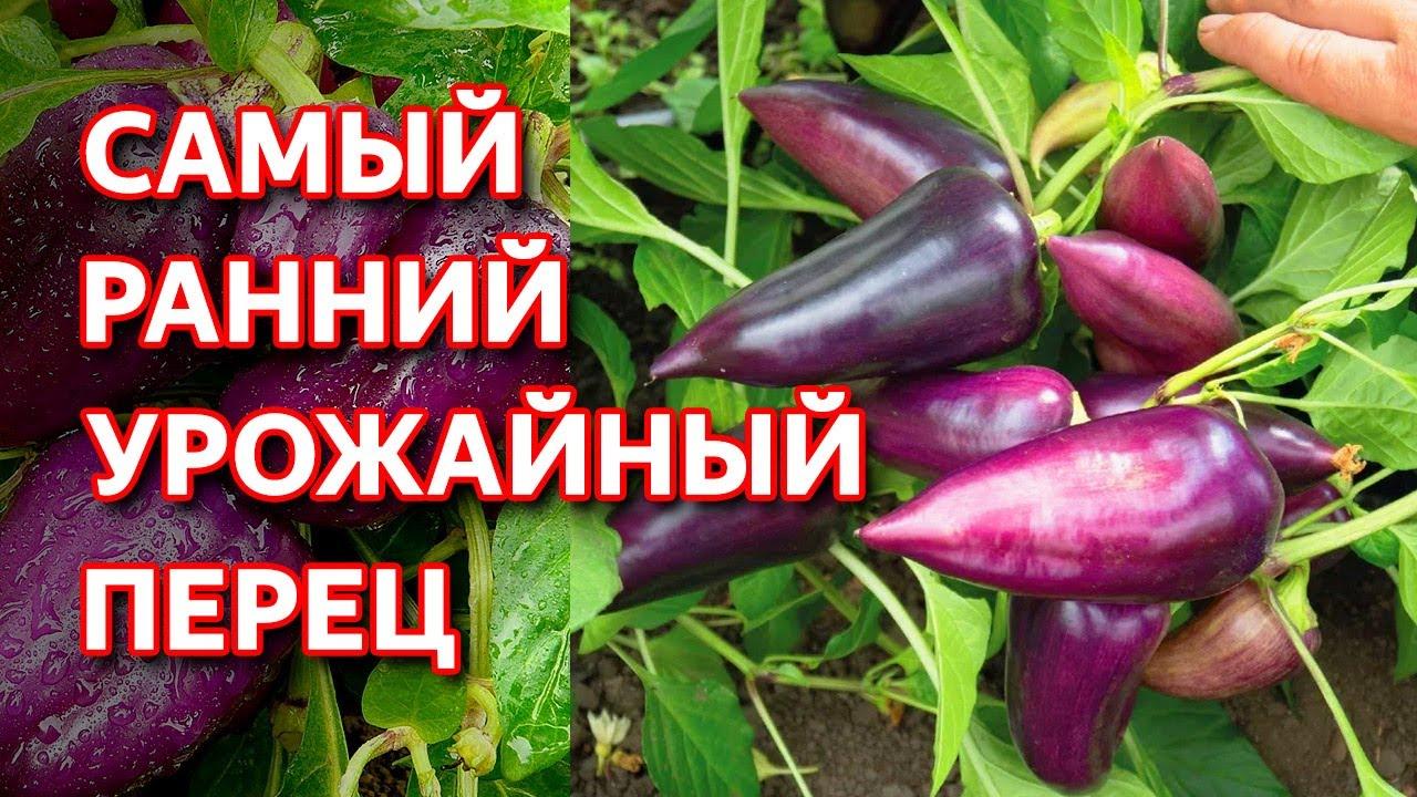 Этот перец вырастет даже в холодной сибири. Перец Сиреневый Блеск от Семена Алтая. Перец для Сибири.