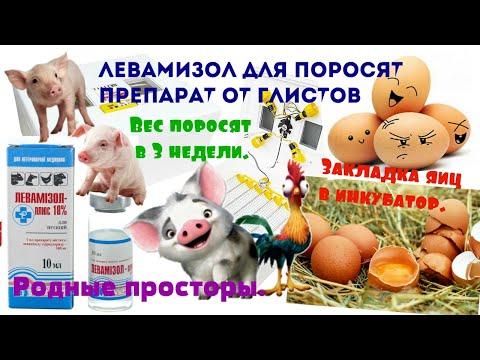 Левамизол для поросят(препарат от ГЛИСТОВ). Взвешивание поросят в 3 недели. Закладка яиц.