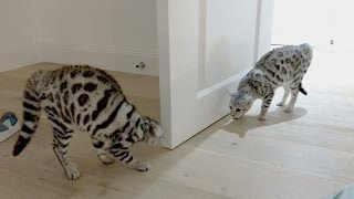 The Most Tense Build Up To A Bengal Cat Fight