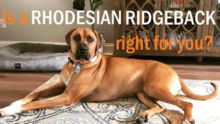 HOW TO Know if a Rhodesian Ridgeback is right for you?