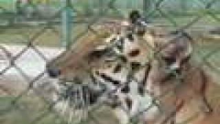 Rearing big cats at Abu Dhabi Wildlife Centre