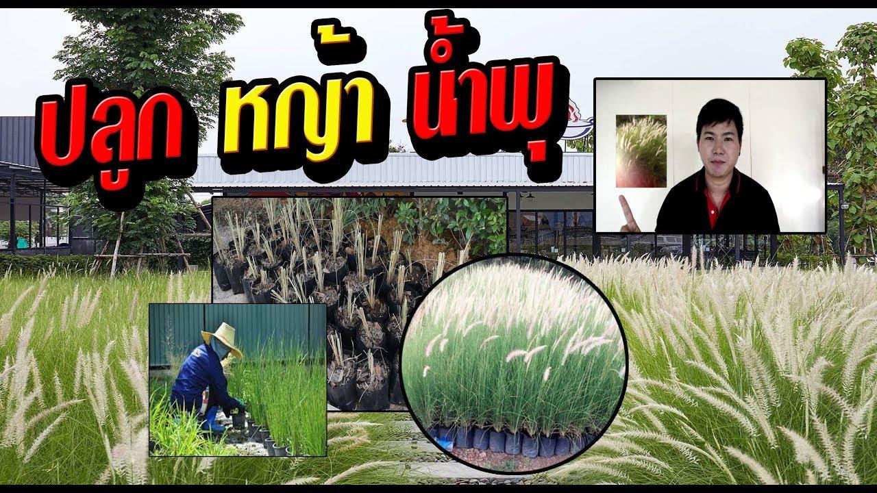 สอนวิธีการขยายพันธุ์ หญ้าน้ำพุ ง่ายมากๆ
