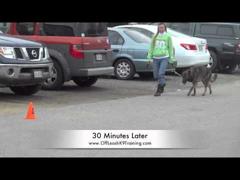 Working Dog Aggressive Dog Violet! Dog Aggression Training in Northern Virginia