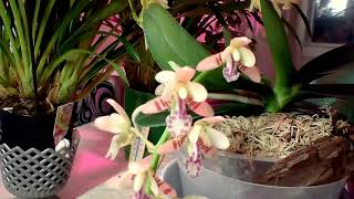 Скачать Орхидея Сидирея японика