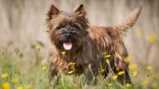 Cairn Terrier  smallest size dog breed