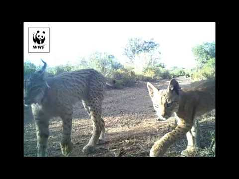 A camera trap captures footage of Iberian lynx cubs