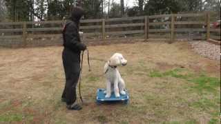 Captain (labradoodle) & Lady (maltipoo) - Sunl Atlanta Dog Training