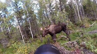 Moose hunting - The best of Swedish hunting 2018