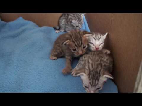 Meulicats Ocicats kittens Yentle 2017 03 04