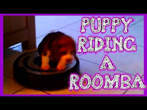 Puppy On Roomba : Cute Beagle Puppy Rides a Roomba