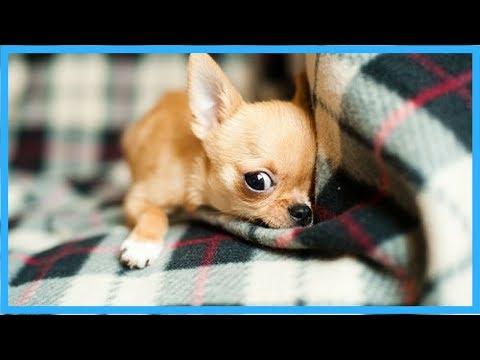 Chihuahua- Top 10 Facts Chihuahua