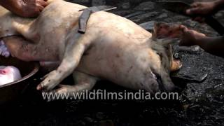 Parn Meghalayan man cuts pig's stomach and pulls out intestines