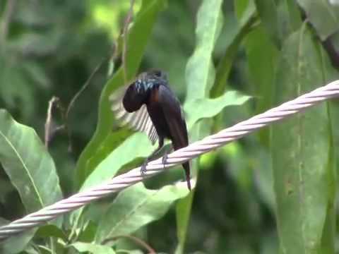 Kolibri Ninja asli hutan