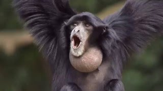 Siamang (Symphalangus syndactylus) vocal performance and howling and at the Jacksonville Florida Zoo