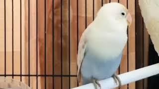 Download Lagu masteran lovebird konslet minor dobelan national KELAS A mp3