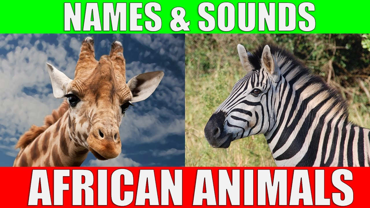 African Animals Names and Sounds for Kids to Learn ... - photo#32