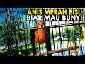 Pancingan Anis Merah Volume Kasar Biar Burung Macet Bunyi Biar Burung Bisa Gacor  Mp3 - Mp4 Download