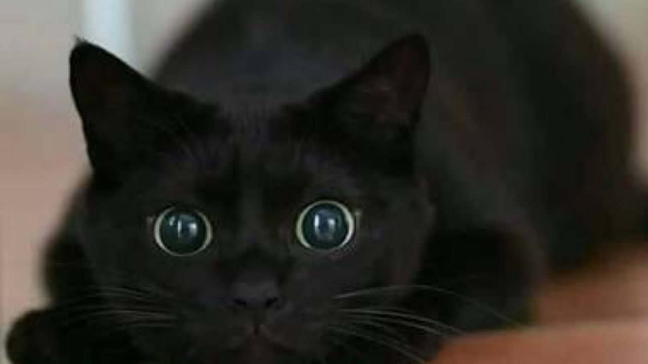 Funny Black Cats Compilation You Ll Die Of Cuteness Youtube