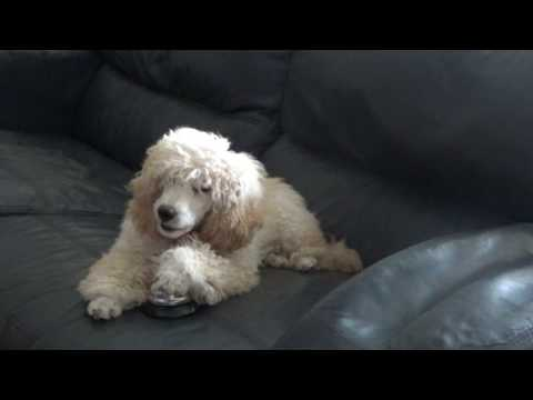 Miniature Poodle Pup Learns To Ring Bell