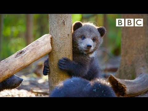 Orphaned Bear Cub's Incredible Recovery Story 😍🐻- BBC