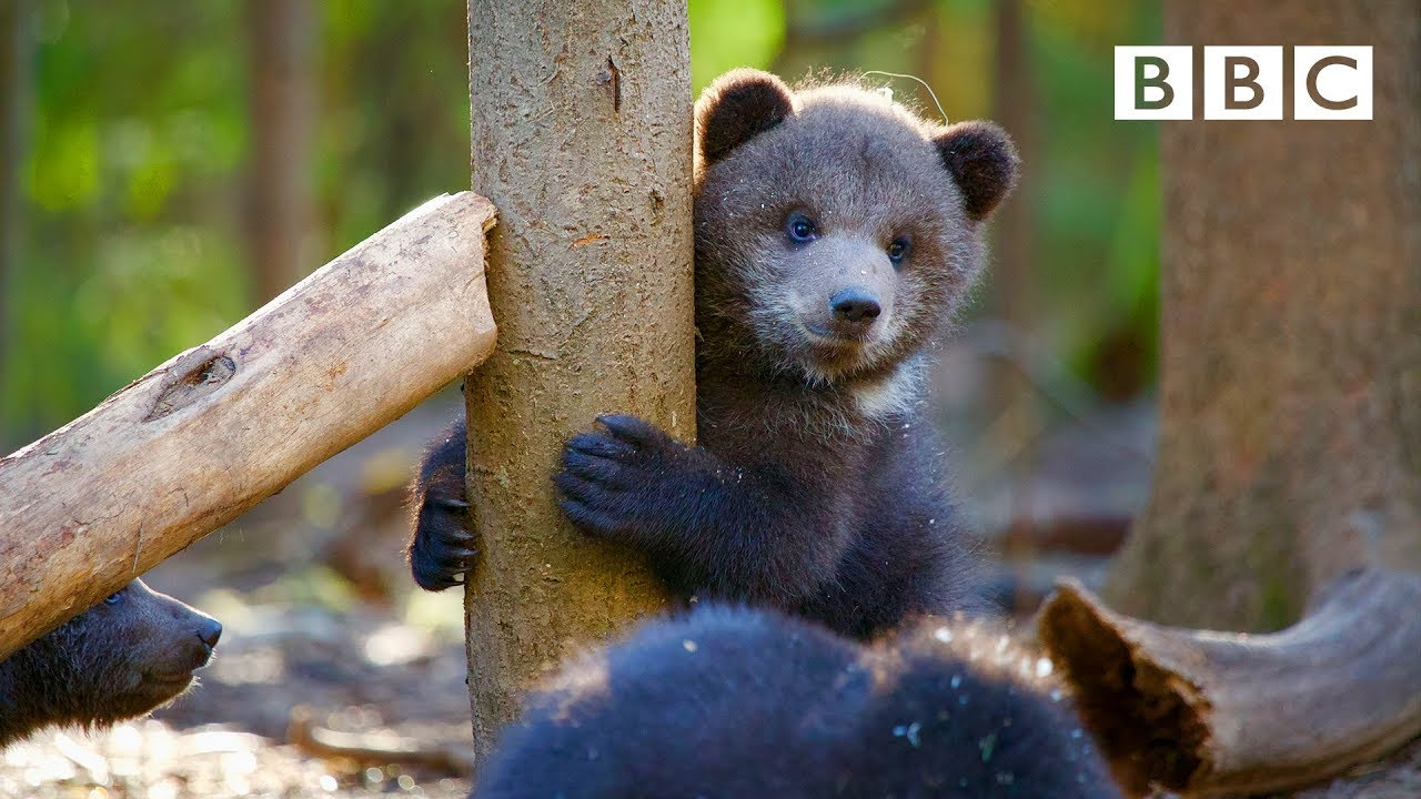 Orphaned Bear Cub S Incredible Recovery Story Bbc Youtube
