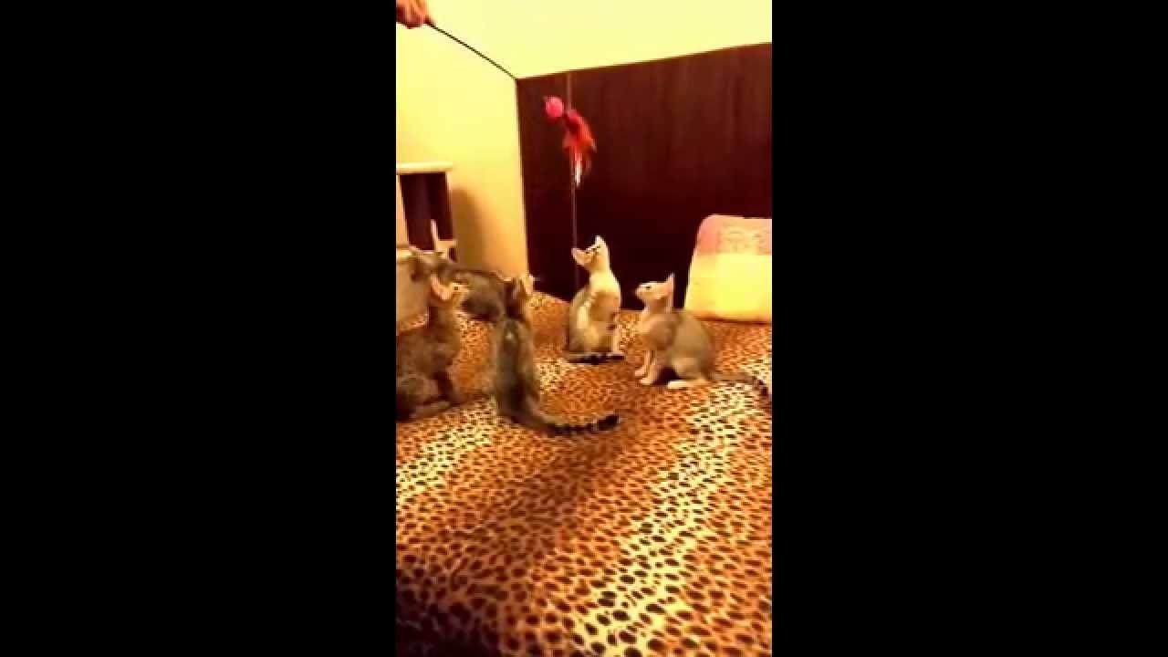 Savannah cats in slow motion. Part 4. / Кошка Саванна в замедленной съемке, часть 4.