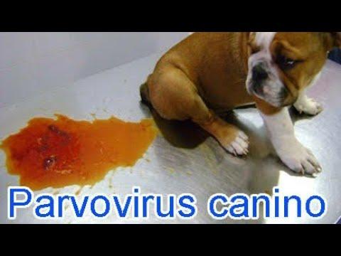 ¿Ya Hay Cura Contra El Parvovirus??