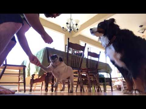 Benjamin the Bernese Mountain Dog does Tricks for Treats
