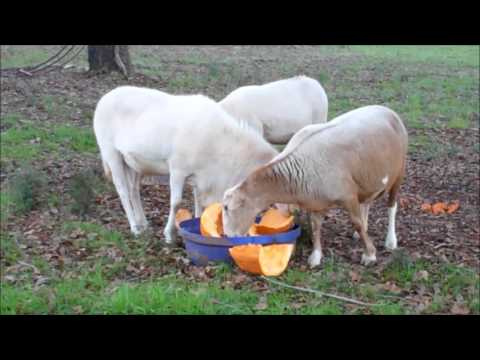 Grazing Livestock In The Winter~Feed LESS Hay !