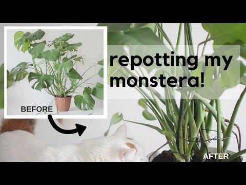 Re-potting My Monstera Deliciosa - The Roots May Shock You! 🌱