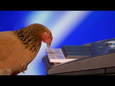 Thumbnail: America's Got Talent 2017 Jokgu the Keyboard Playing Chicken Full Audition S12E01