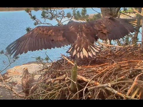 Smola Norway Eagles Nest Cam ~ Hey Look At Me Dad; Solo Hopping & Flapping 7.2.17