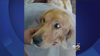 Stray Golden Retriever Suffers Third Degree Burns After Being Intentionally Set On Fire