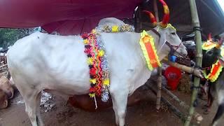 Dhupkhola Haat Er Matha Nosto Kora Shob Goru | Kurbani Eid 2018 | Guy with The Big Cows
