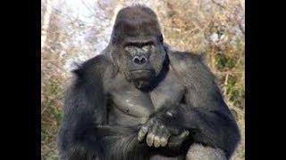 Большие горилы джунглей Конго  Документальный фильм