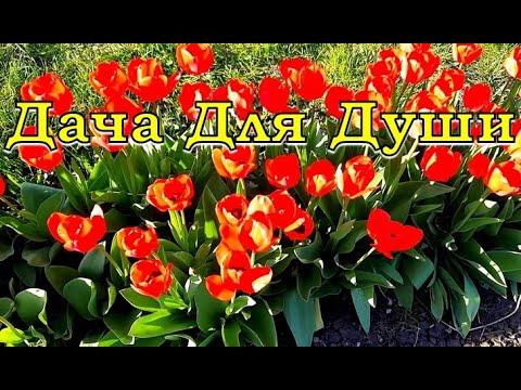 7 «Почему» не цветут тюльпаны и как это исправить������