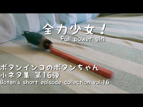 ボタンインコのボタンちゃん小ネタ集16-botan's-short-episode-collection-vol.16