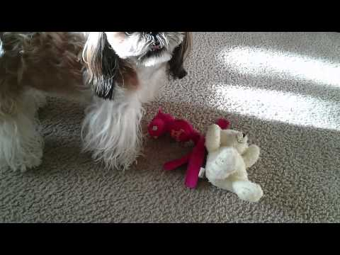 shih-tzu-shaking-her-new-toy.